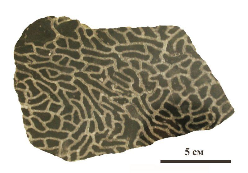 Ископаемый коралл † halysites sp